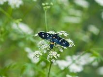 九被察觉的飞蛾或黄色围绕了burnet,艾买提phegea,以前Syntomis phegea,在花的特写镜头 图库摄影