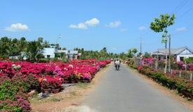 九重葛在湄公河三角洲的农村路,越南开花 库存图片