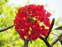 九重葛开花花束球状在树 免版税库存图片