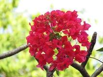 九重葛开花花束球状在树 免版税图库摄影