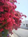 九重葛开花Pefkos Pefki罗得岛希腊海岛希腊 免版税图库摄影