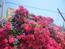 九重葛开花Pefkos Pefki罗得岛希腊海岛希腊 免版税库存图片
