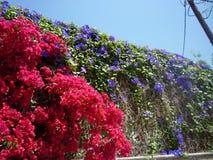 九重葛开花Pefkos Pefki罗得岛希腊海岛希腊 免版税库存照片
