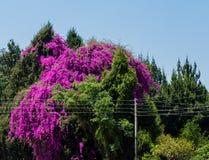 九重葛树在哈拉雷-津巴布韦,南非 免版税图库摄影