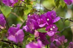 九重葛桃红色美丽的开花开花与绿色叶子 特写镜头 软的背景 免版税库存照片