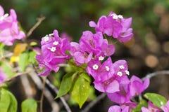 九重葛桃红色美丽的开花开花与绿色叶子 特写镜头 软的背景 图库摄影