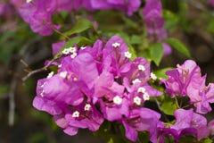 九重葛桃红色美丽的开花开花与绿色叶子 特写镜头 软的背景 免版税库存图片