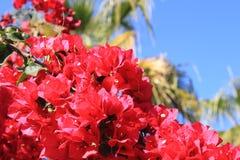 九重葛棕榈树 库存图片