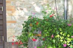 九重葛植物和花在桶 免版税库存照片