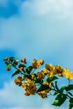 九重葛橙黄色 并且天空 库存图片