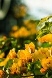 九重葛橙黄色 图库摄影