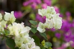 九重葛白色美丽的开花开花与绿色叶子 特写镜头 软的背景 免版税库存照片