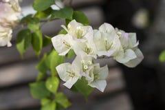 九重葛白色美丽的开花开花与绿色叶子 特写镜头 软的背景 免版税库存图片