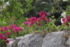 九重葛美丽的花在庭院,石头里 免版税库存照片