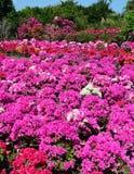 九重葛花园在永隆中,越南 免版税库存照片