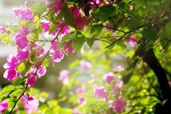 九重葛花在庭院里 图库摄影