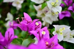 九重葛花在庭院,泰国里 库存图片