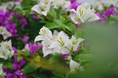 九重葛花在庭院,泰国里 免版税库存照片