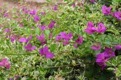 九重葛花,紫色九重葛 免版税库存图片