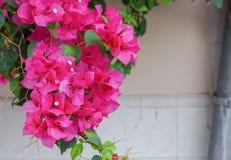 九重葛花,紫色九重葛 库存图片