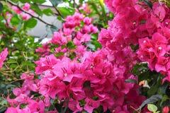 九重葛花,紫色九重葛 库存照片