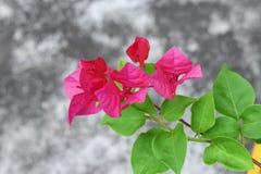九重葛花,紫色九重葛 免版税库存照片