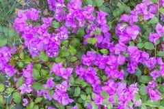 九重葛花紫色 库存照片