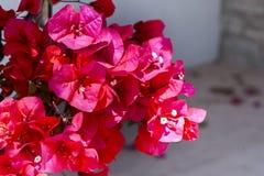 九重葛,红色花,纹理 免版税图库摄影