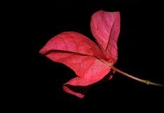 九重葛-洋红色苞 库存图片