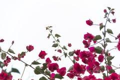 九重葛- Buganvilla 免版税库存照片