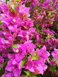 九重葛flowerplantpinkcolor 库存照片
