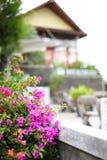 九重葛Samui海岛  免版税图库摄影