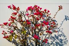 九重葛spectabilis Willd花材料  免版税图库摄影