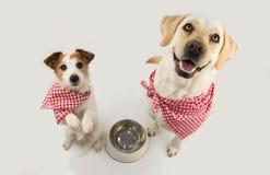 乞求两条的狗食物 拉布拉多和杰克等待的罗素吃与一个空的碗 坐两条腿 穿戴与红色 免版税库存照片