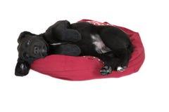 乞求可爱的幼小黑拉布拉多的小狗放下 免版税图库摄影