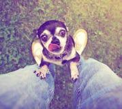 乞求逗人喜爱的奇瓦瓦狗被拾起 库存照片