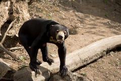 也作为熊已知的马来西亚星期日 免版税库存图片