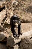 也作为熊已知的马来西亚星期日 库存照片