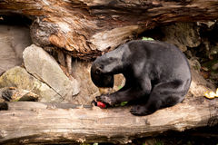 也作为熊已知的马来西亚星期日 免版税图库摄影