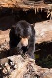 也作为熊已知的马来西亚星期日 免版税库存照片