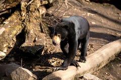 也作为熊已知的马来西亚星期日 图库摄影