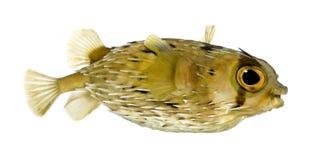 也作为balloo知道多刺长的刺顿鱼的脊椎 图库摄影