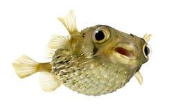 也作为balloo知道多刺长的刺顿鱼的脊椎 免版税图库摄影