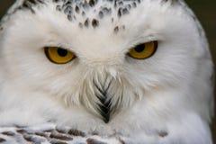 也北极作为鸟巨大harfang知道大猫头鹰纵向牺牲者雪白色 免版税库存图片