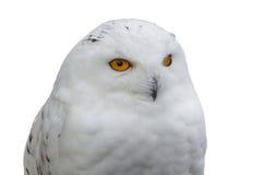 也北极作为鸟巨大harfang知道大猫头鹰纵向牺牲者雪白色 免版税库存照片