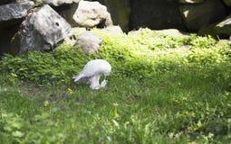 也北极作为鸟巨大harfang知道大猫头鹰纵向牺牲者雪白色 库存照片