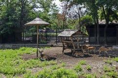 也大型装配架男性鹿家庭或狍属与母獐鹿鹿,后面或母鹿和小鹿放松室外在领域 库存图片