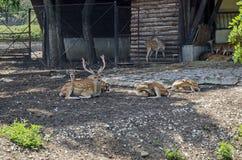 也大型装配架男性鹿家庭或狍属与母獐鹿鹿,后面或母鹿和小鹿放松室外在领域 免版税库存图片