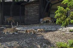 也大型装配架男性鹿家庭或狍属与母獐鹿鹿,后面或母鹿和小鹿放松室外在领域 免版税图库摄影