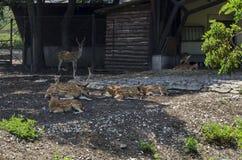 也大型装配架男性鹿家庭或狍属与母獐鹿鹿,后面或母鹿和小鹿放松室外在领域 库存照片